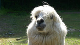An alpaca (Vicugna pacos) portrait Footage