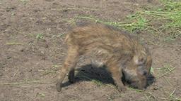 Young, baby wild boar, Sus scrofa Live Action