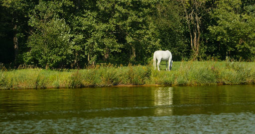 White horse grazing Live Action