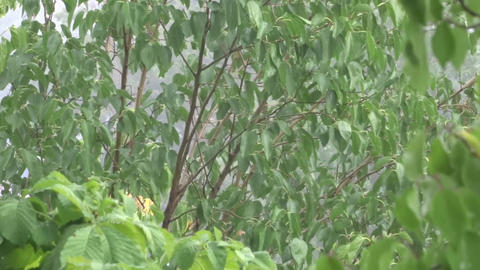Green leaves in the rain. A tree in the rain. Summer shower Footage