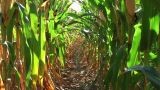 Corn Row Zoom stock footage