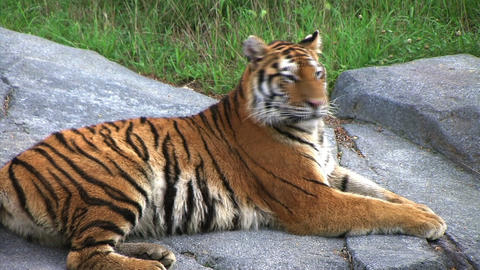 Siberian Tiger Alerted by Prey Stock Video Footage