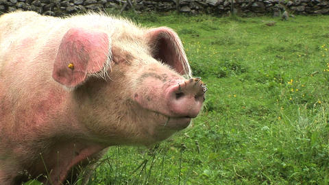 00030 Tiere Schwein1 Stock Video Footage
