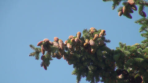 a lump on the branch of a pine Stock Video Footage
