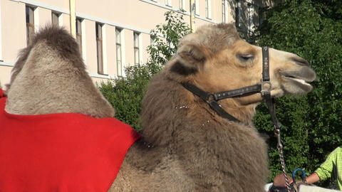 A camel Stock Video Footage