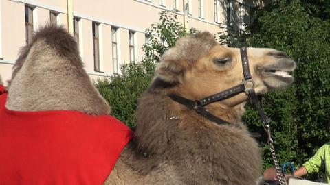 A camel Footage