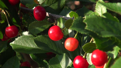 Ripe cherry Stock Video Footage