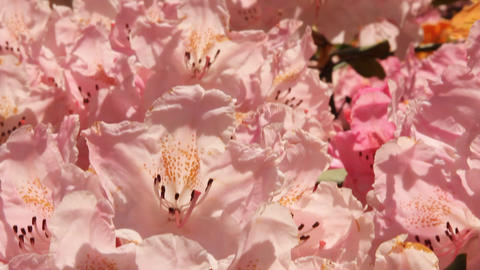 Pink Rhododendrons Stock Video Footage