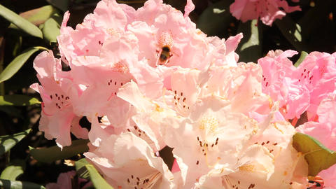 Bee taking pollen on a pink flower Stock Video Footage