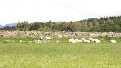 Field With Sheep stock footage