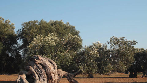 Wind blowing the leaves and branches of an olive t Stock Video Footage