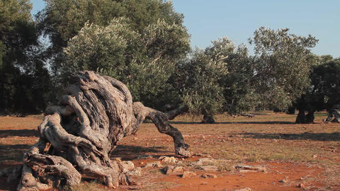 Wind blowing the leaves and branches of an olive t Footage
