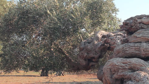 Twisted trunk of an olive tree Stock Video Footage