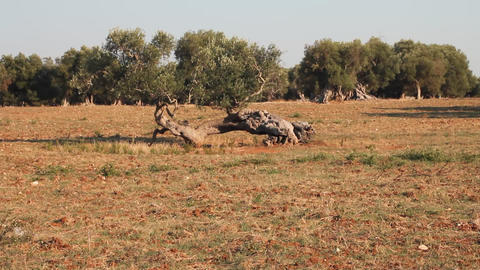 Lonely olive tree and red clay earth Stock Video Footage