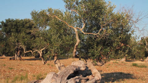 Olive tree with twisted trunk Live Action