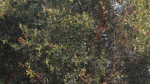 Trunk and leaves of an olive tree Stock Video Footage