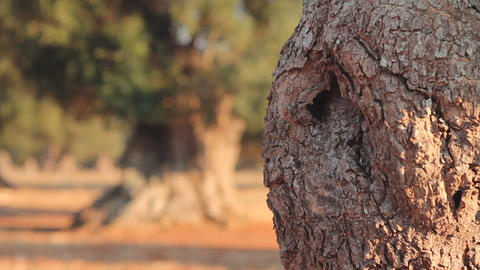 Detail of an olive tree trunk Stock Video Footage