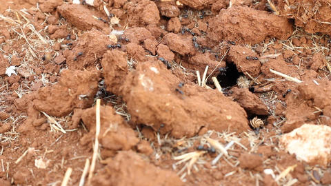Detail of the anthill entrance with working ants Footage