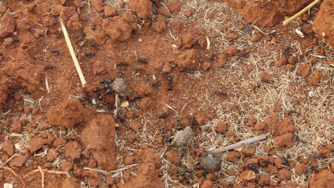 Working ants carrying heavy loads view from above Stock Video Footage