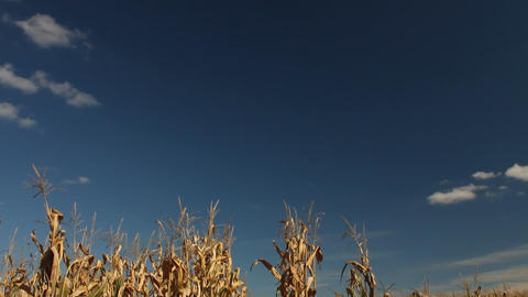 View of corn stalks Stock Video Footage