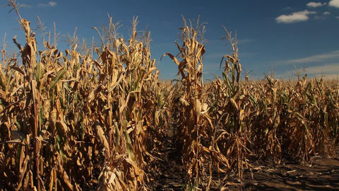 View of corn stalks Footage