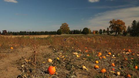 Field of pumpkins Stock Video Footage