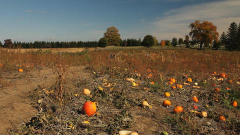 Field Of Pumpkins stock footage