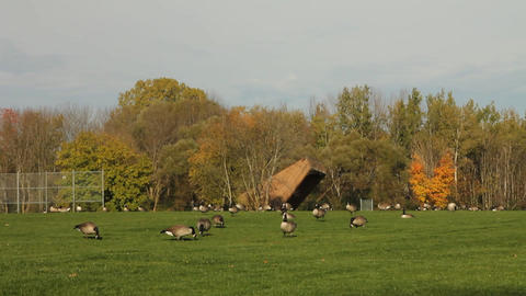 Large group of Canadian geese Stock Video Footage