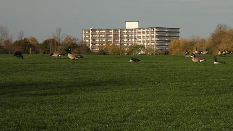 Flock of Canadian geese Footage