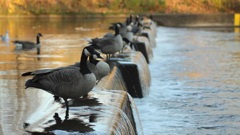 Flock of Canadian geese Stock Video Footage