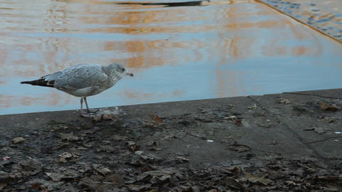 Seagull walking Stock Video Footage