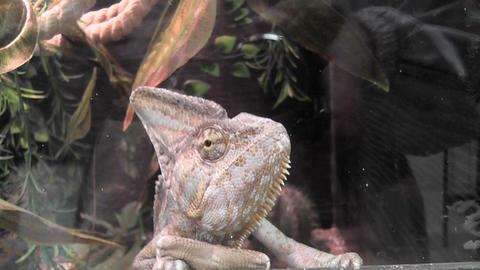 chameleon 01 Stock Video Footage