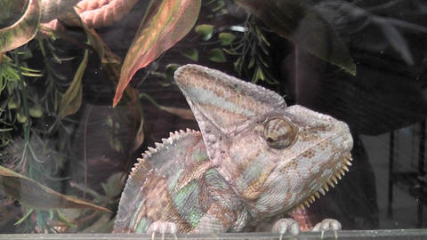 chameleon 01 Footage