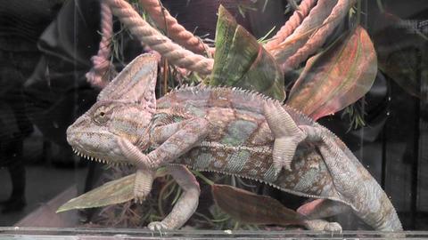 chameleon 03 Footage