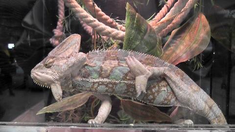 chameleon 03 Stock Video Footage