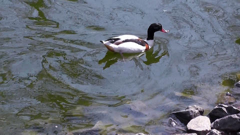 duck swimming Stock Video Footage