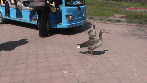 goose and bus Stock Video Footage