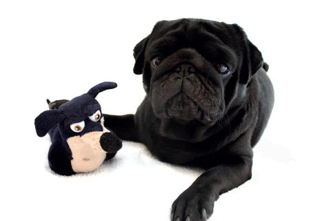 Black pug with toy laying down on a white background Photo
