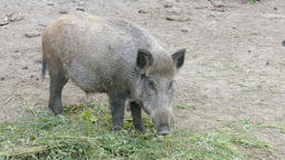 The wild boar eating (Sus scrofa), Live Action