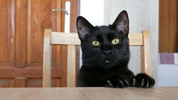 Black cat is sitting at a table and is waiting for food Live Action