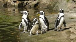 The African penguin (Spheniscus demersus) Live Action