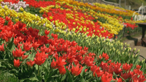 Tulips got water GIF