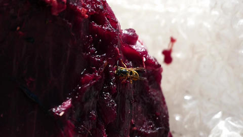 Carnivorous bees,wild bees on animal meat, carnivorous bees Footage