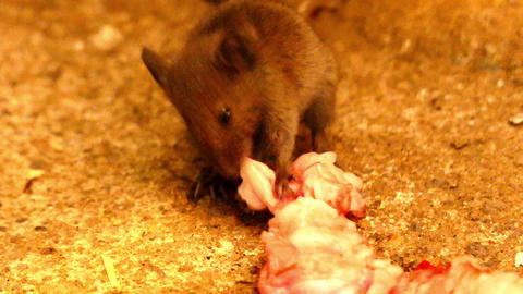 A meat-eating mouse,the non-domesticated mouse is eating meat, the mouse is Footage