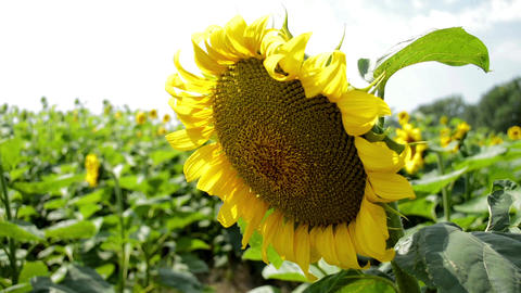 Flower of a sunflower is large, a field of sunflowers Live Action