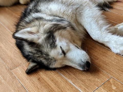 Sleeping Alaskan Husky フォト