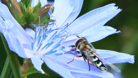Closeup of Hoverfly on purple Cichorium blooming flower. Common hoverfly Live Action