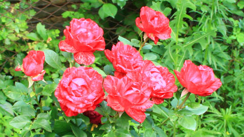 Red roses blossom in summer garden Live Action