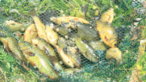Caught tench and crucians on green grass. Successful fishing. Poaching Live Action
