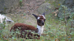 Alpaca. Vicugna pacos. Young, baby alpaca Footage